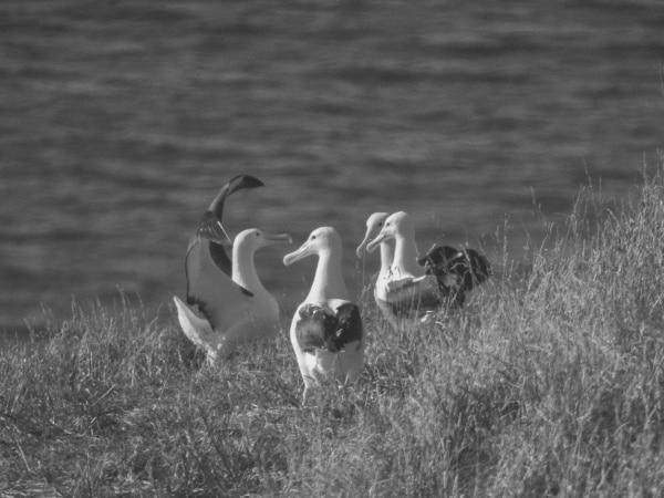 Königsalbatros. Albatros Gruppenbalz