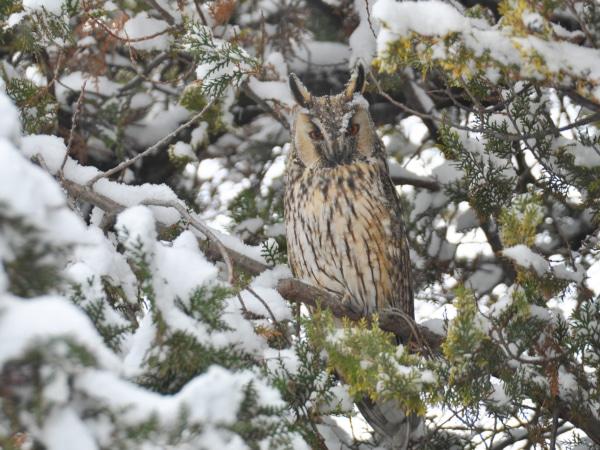 Waldohreule im Schneegestöber