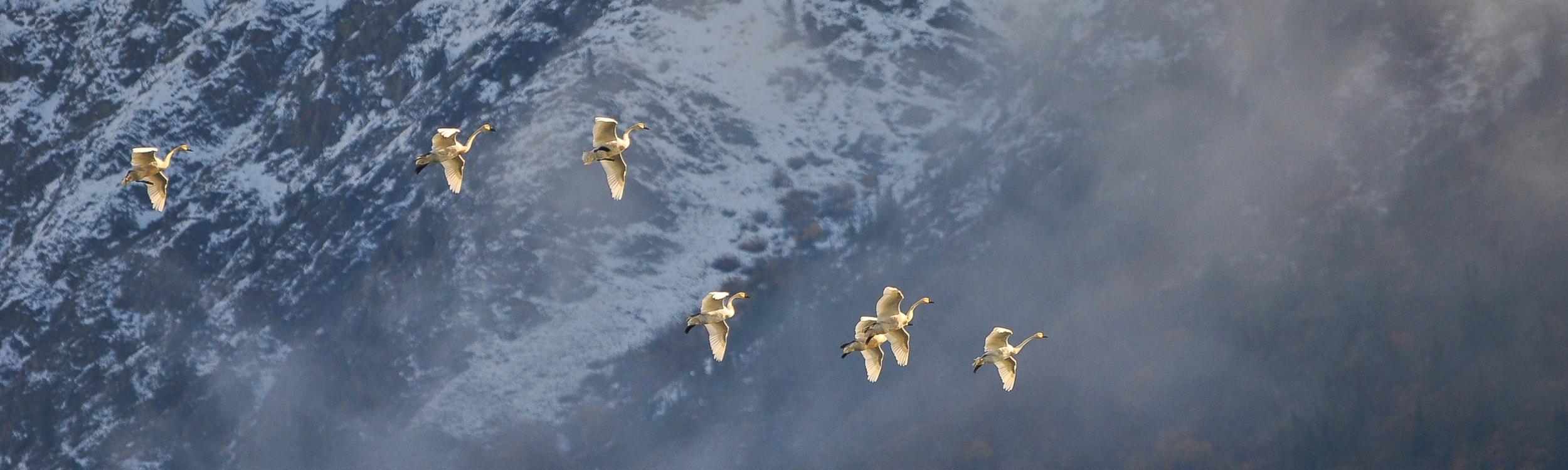 Trompetenschwäne beim Anflug