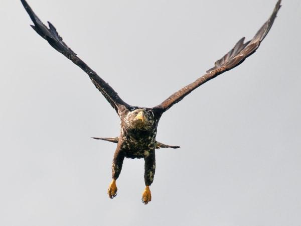 Fliegender junger Weißkopfseeadler