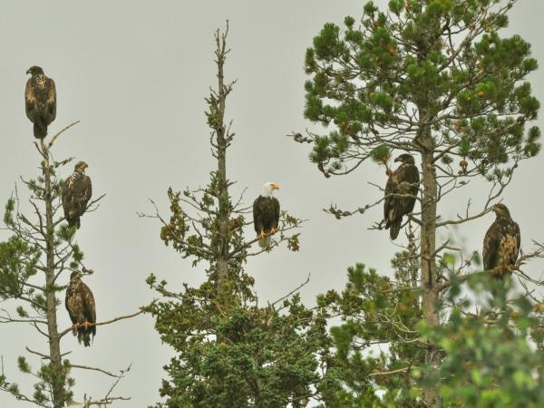 Fünf junge und ein adulter Weißkopfseeadler sitzen in den Bäumen