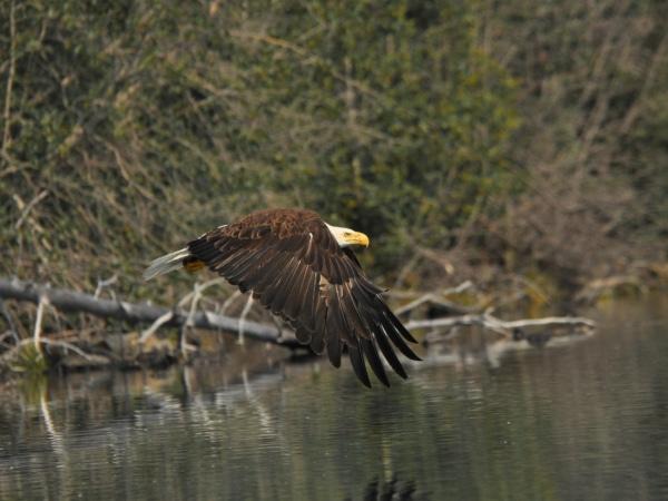 Fliegender alter Weißkopfseeadler im Yukon