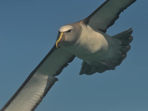 Salvin´s Albatros im Flug