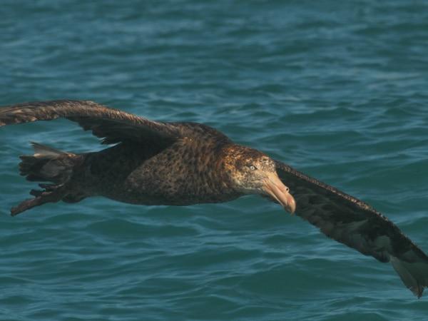 Riesensturmvogel vor Neuseeland