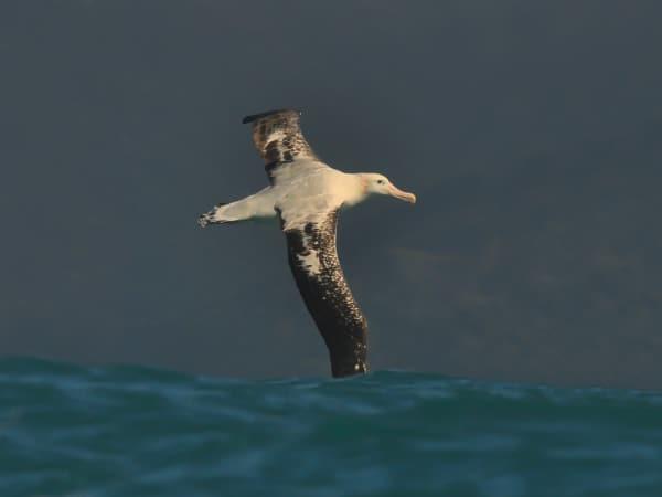 Königsalbatros vor Neuseeland