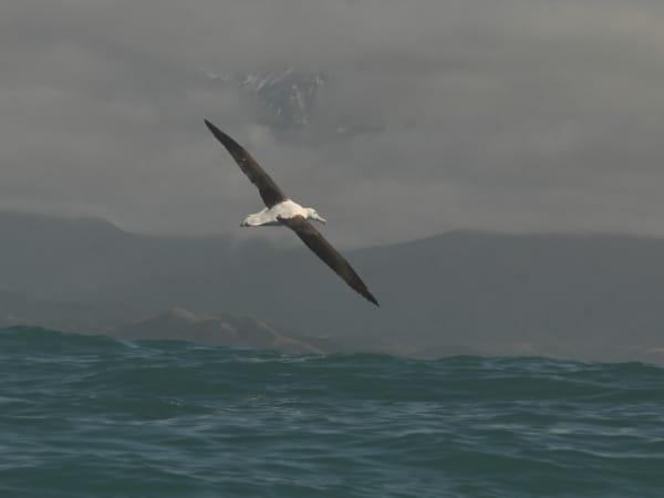 Ein Nördlicher Konigsalbatros vor Neuseeland