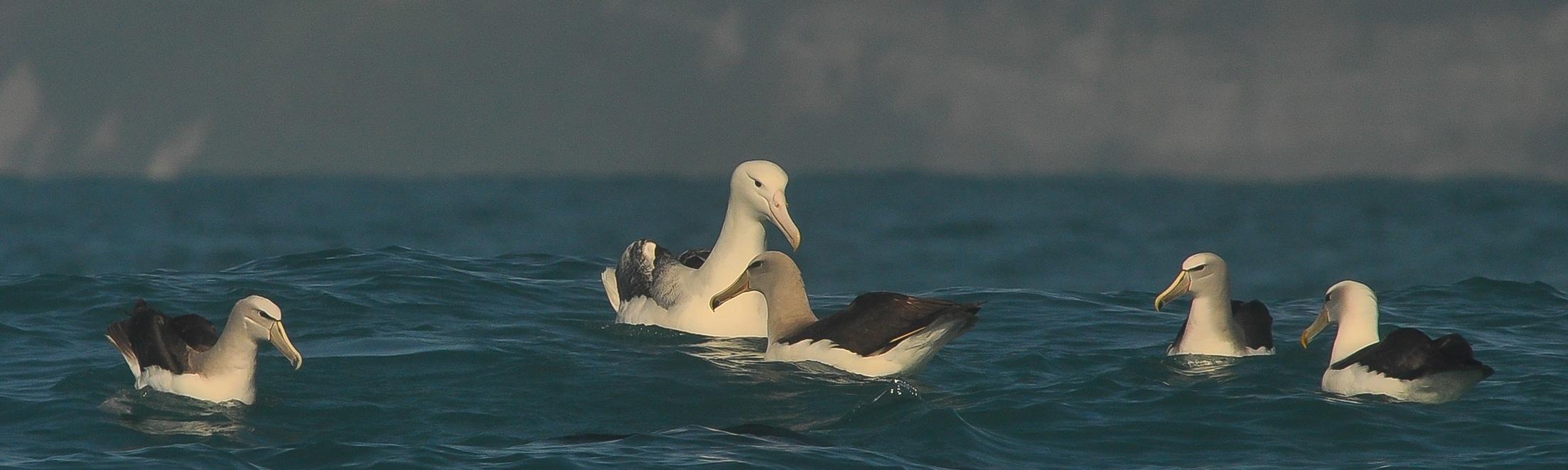 Wanderalbatros und Salvin`s Albatros