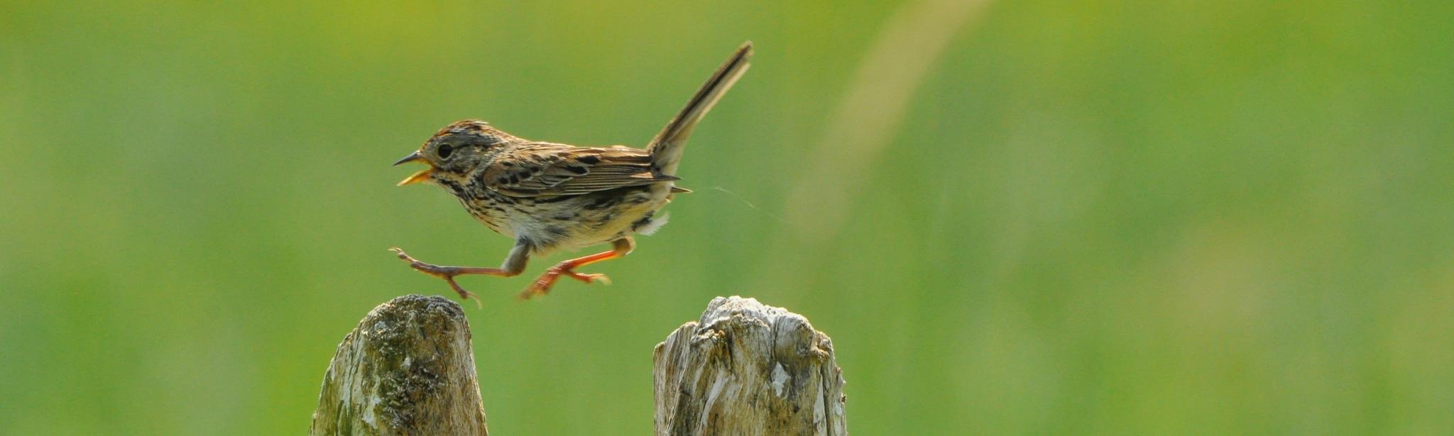 Hüpfender Savannensparrow