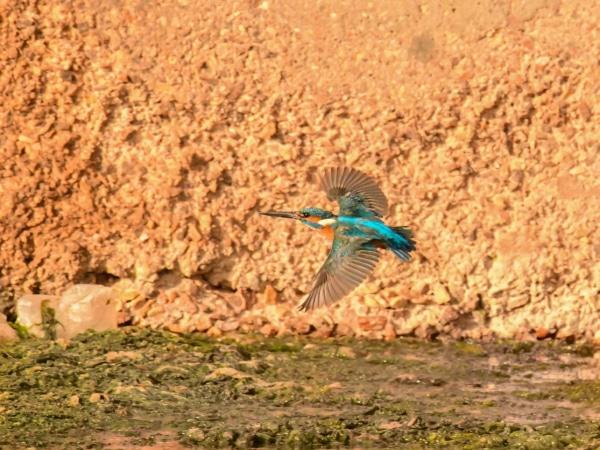 Fliegender Eisvogel