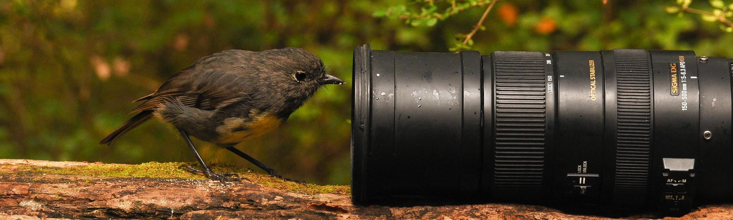 Neuseeland Robin vor der Kamera