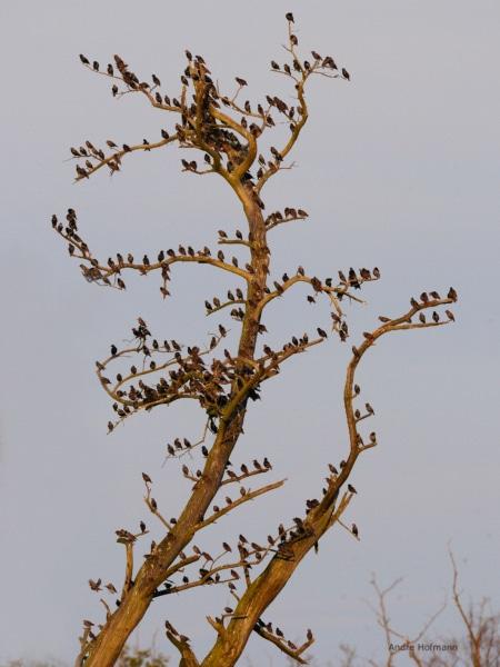 Starenschwarm im Baum