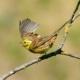Vogelsprache, warnende Goldammer